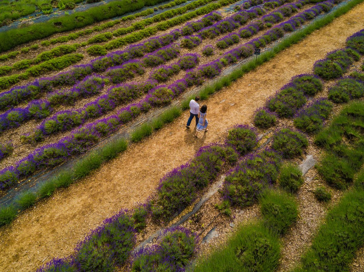 North Fork Attractions Lavender by the Bay DJI_0183